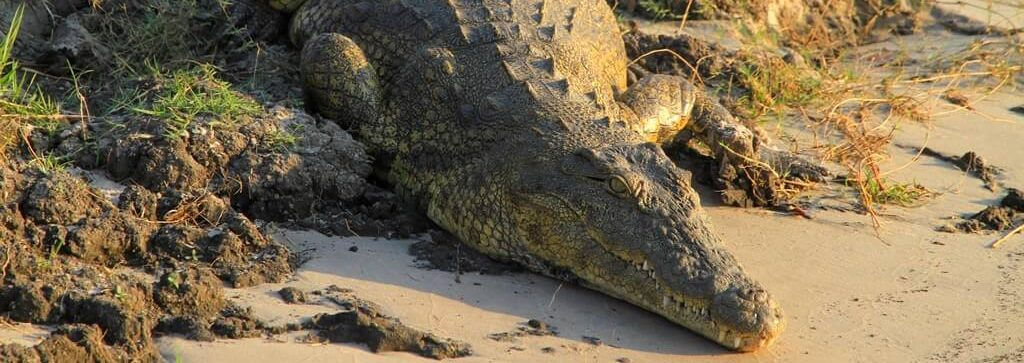 Cocodrilo en el rio Chobe