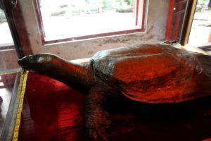Cuerpo momificado de la enorme tortuga