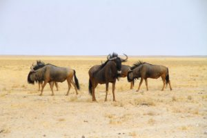 Ñus en Etosha, Namibia