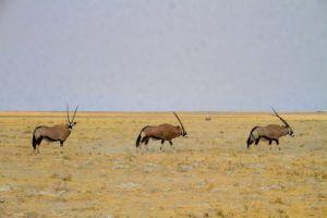 Orix en el Parque Nacional de Etosha, Namibia