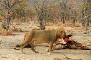 El Rey del Parque Nacional de Etosha, Namibia