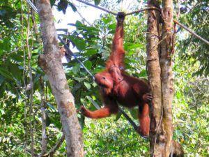 Centro de Recuperación de Orangutanes de Semenggoh, Borneo, Malasia