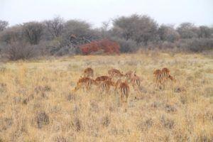 Antilopes en Khama Rhino Sanctuary, Botswana