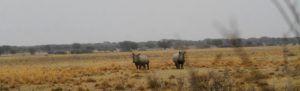 Ejemplares de rinocerente blanco en Khama Rhino Sanctuary, Botswana