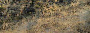 Migración de ñus hacia la Reserva de Moremi, Botswana