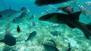 Tiburones nodriza en la Reserva Marina de Hol Chan, Cayo Caulker, Belice