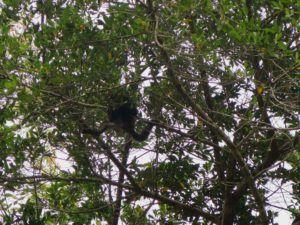 Mono aullador en los arboles de Tikal