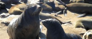 Leones marinos de Cape Cross, Namibia