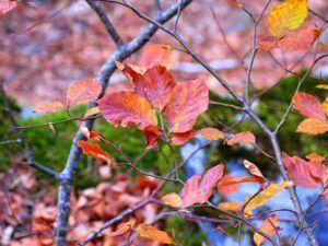 Hayedo de Tejera Negra, el color del otoño
