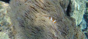 Pez payaso, Coral Garden
