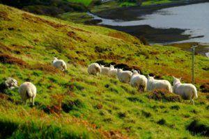 Ovejas en la Isla de Skye