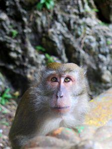 Monete Macaco en las Cuevas de Batu, Kuala Lumpur