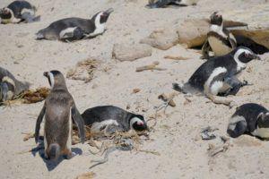 Pingüinos del Cabo, qué ver en la Península del Cabo