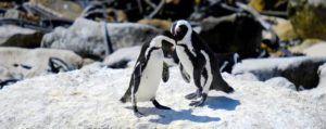 Pingüinos del Cabo en Boulders Bay