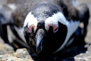 Pingüino del Cabo en Boulders Bay