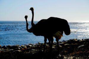 Avestruces en el Cabo de la Buena Esperanza