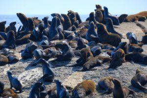 Leones marinos en Hout Bay