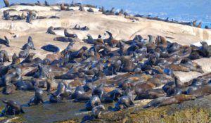 Leones marinos de Duiker Island