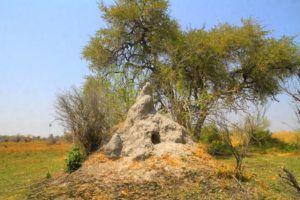 Hormigueros en las orillas del rio Okavango