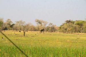Elefante afrocano en el delta del Okavango