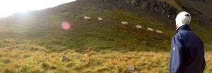 Las ovejas en Islandia