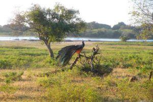 Los animales de Yala, en busca del leopardo de Sri Lanka