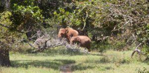 Elefantes en Yala