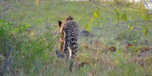 Safari por el Parque Nacional de Yala, el esquivo leopardo