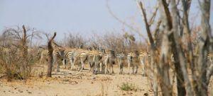 Cebras en el Parque Nacional Makgadikgadi, Botswana