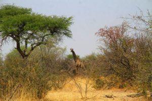 Jirafa en el Parque Nacional Makgadikgadi, Botswana