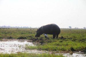 Safari por el rio Chobe, hipopotamo