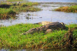 Safari por el rio Chobe, cocodrilo