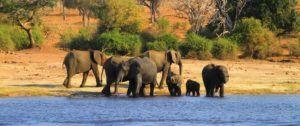 Safari por el rio Chobe, Elefantes africanos