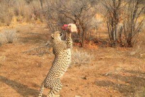 Granja refugio de Guepardos en Namibia