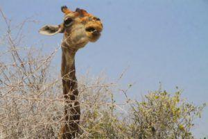 Una jirafa come de la copa de un arbol