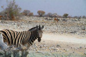 Cebra en Etosha, Nambia