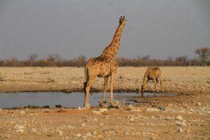 Una de las muchas charcas donde se reunen los animales en Etosha, Namibia