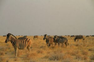 Manada de cebras al atardecer en Etosha, Nambia