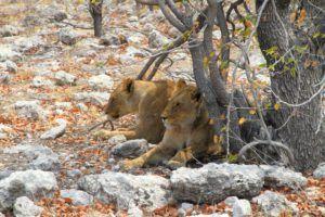 Leonas en el Parque Nacional de Etosha, Namibia