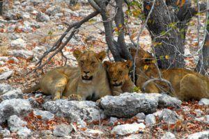 Leonas en Parque Nacional de Etosha, Namibia