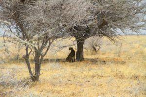 Un guepardo descansa en el Parque Nacional de Etosha, Namibia