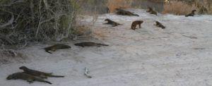 Los gracisos suricatos