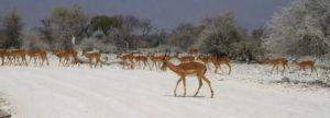 Antilopes en el Parque Nacional de Etosha, Namibia