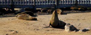 Los leones marinos de Cape Cross, Namibia