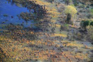 Grupo de ñus en el delta del Okavango