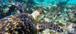 Tortuga marina en la Reserva Marina de Hol Chan, Cayo Caulker, Belice