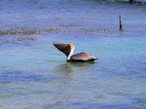 Pelicano en Cayo Caulker, el paraíso de Belice