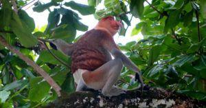 Mono probóscide o mono narigudo
