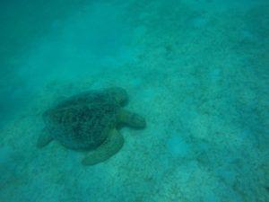Tortuga gigante, Islas Perhentian. Malasia