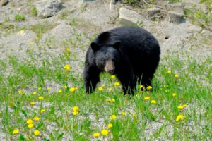 Uno de los dos osos que nos cruzamos en Canadá